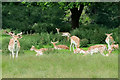 SJ5509 : Fallow Deer at Attingham Park by David Dixon
