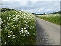 TQ5663 : Cow parsley in Knatts Valley by Marathon