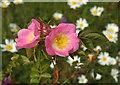 SX9066 : Rose, Nightingale Park by Derek Harper