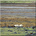 NG5622 : Sheep grazing in the salt marsh on Loch Slapin by Rudi Winter