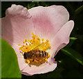 SX9065 : Bee in rose, Windmill Hill by Derek Harper