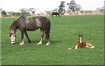ST8180 : Mare & Foal, Acton Turville, Gloucestershire 1995 by Ray Bird