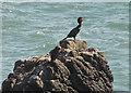 SS1905 : Cormorant below Efford Cliffs by Derek Harper