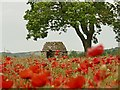 SK2472 : Stone building in a field of poppies by Graham Hogg