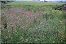 TA1502 : Wild poppies by Grimsby Road, Cabourne Parva by David Howard