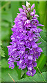 NS5668 : Spotted Orchid by Anne Burgess