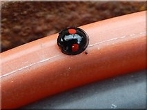 NS3878 : Kidney-spot Ladybird by Lairich Rig