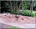 ST3092 : Swans at the edge of Dragonfly Pool, Llantarnam, Cwmbran by Jaggery