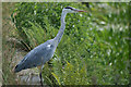 SD7909 : Grey Heron, Manchester, Bolton and Bury Canal by David Dixon