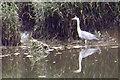 NX9774 : Heron at Kingholm by Tiger