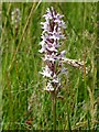 SO7739 : Orchid on Castlemorton Common by Philip Halling