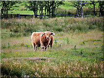 SD7909 : Cattle in Field north of the Canal by David Dixon