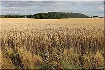 TL4338 : Field by Hall Lane, Chrishall by David Howard