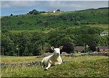 SK2076 : Sheep below Bretton Mount by Neil Theasby