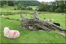 NY3404 : Lamb under fallen tree by DS Pugh