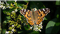 J5383 : Painted Lady butterfly, Groomsport by Rossographer