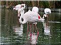 SO7104 : Greater Flamingos at Slimbridge by David Dixon