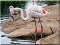 SO7104 : WWT Slimbridge, Greater Flamingo by David Dixon