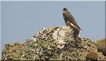 SX6643 : Peregrine falcon near Long Stone by Derek Harper