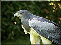 SO7023 : ICBP, Grey Buzzard Eagle by David Dixon