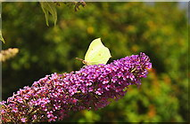 ST8180 : Brimstone Butterfly, Acton Turville, Gloucestershire 2019 by Ray Bird