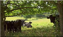 SX8158 : Cattle by the Dart Valley Trail by Derek Harper