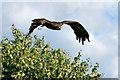 SO7023 : ICBP, Steppe Eagle by David Dixon