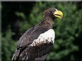 SO7023 : Steller's Sea Eagle at ICBP by David Dixon