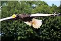 SO7023 : ICBP Flying Display, Steller's Sea Eagle by David Dixon
