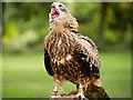 SO7023 : A Greedy Kite by David Dixon