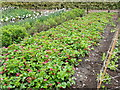 SN5822 : Strawberry patch at Aberglasney by Eirian Evans