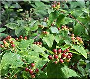 J4681 : Tutsan berries, Crawfordsburn Country Park - August 2019(2) by Albert Bridge