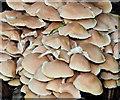 J4682 : Fungi, Crawfordsburn Country Park - August 2019(1) by Albert Bridge