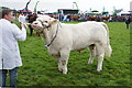 HY4510 : Prize-winning Charolais bull at the County Show by Bill Boaden