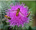 NT4936 : Hoverflies on a thistle head by Walter Baxter