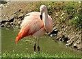 SH8378 : Chilean flamingo - Phoenicopterus chilensis by Richard Hoare