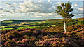 NZ5906 : Silver birch, Turkey Nab by Mick Garratt
