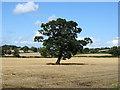 SK3239 : Specimen oak tree by Ian Calderwood