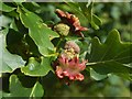 NS3977 : Acorn knopper galls on oak by Lairich Rig
