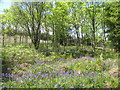 NM9640 : Bluebells in Barcaldine Forest by M J Richardson