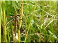 H5167 : Crane fly, Dervaghroy by Kenneth  Allen