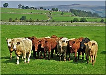 SK1679 : Young cattle by Tophole Road by Neil Theasby