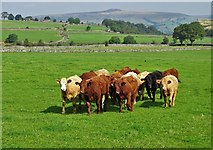 SK1679 : Derbyshire cattle by Neil Theasby