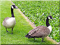 SJ3248 : Canada Geese at Erddig Hall by Jeff Buck