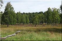NH8721 : Birch Woods at East Sluggan by Anne Burgess