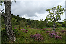 NH8621 : Birch and Heather by Anne Burgess
