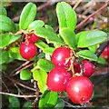 NH8721 : Bearberry (Arctostphylus uva-ursi) by Anne Burgess