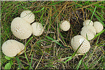 NH8721 : Puff Balls by Anne Burgess