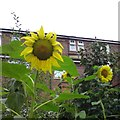 SJ9593 : Sunflowers on Knott Lane by Gerald England