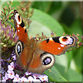 NS3174 : Peacock butterfly on a butterfly bush by Thomas Nugent